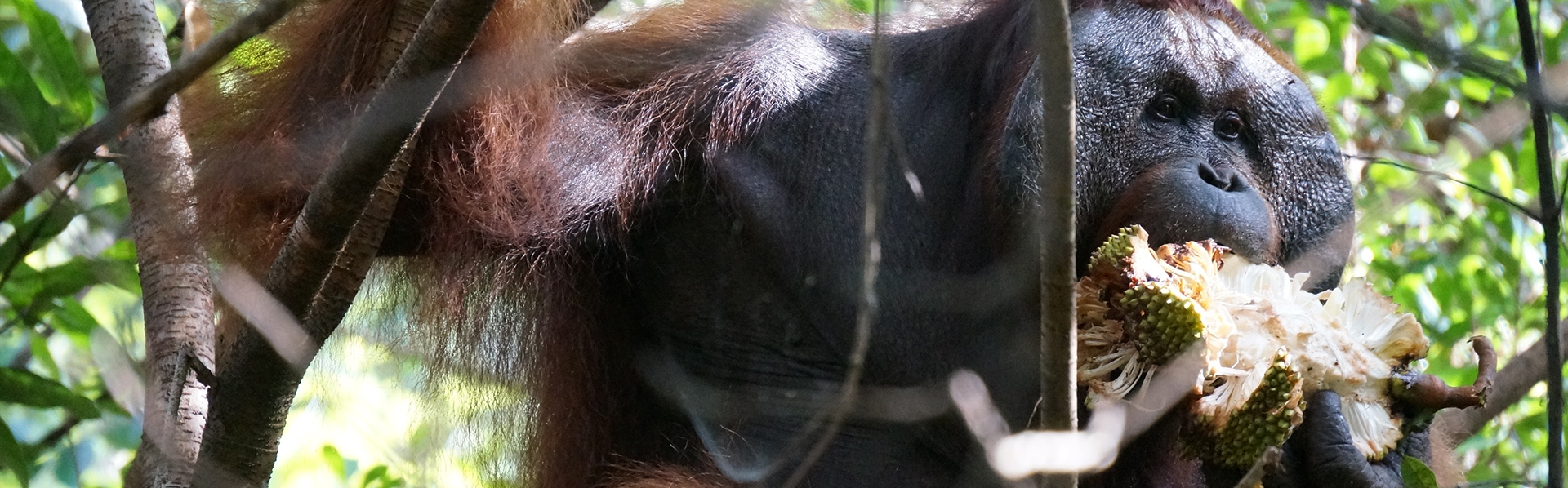 Rutgers Global - Human Origins High School, orangutan in Indonesia sitting in tree eating fruit