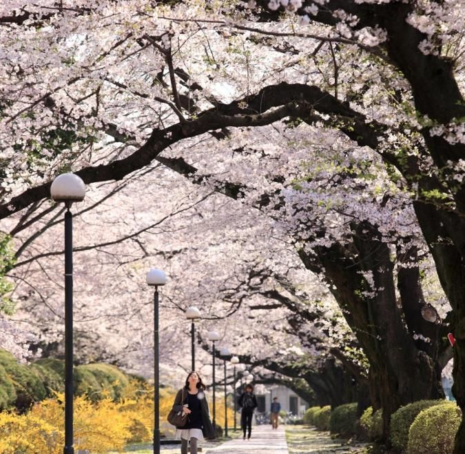 A student walks through a cherry blossom lined street in Tokyo