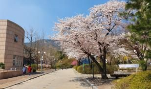 Cherry Blossom Trees in Kookmin University, Seoul