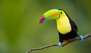 Toucan bird on tree branch in Cost Rica