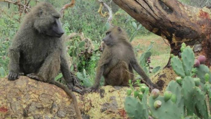 Rutgers Summer - Primatology, Wildlife Ecology, and Conservation in Kenya
